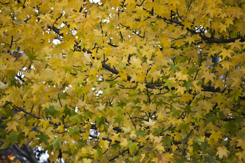 Yellow and Green American Sweetgum Leaves