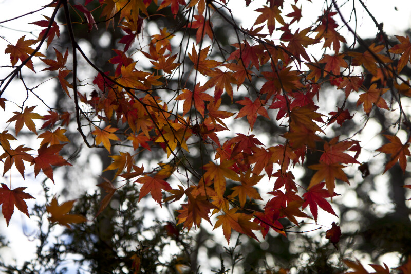 Yellow and Red Japanese Maple Leaves
