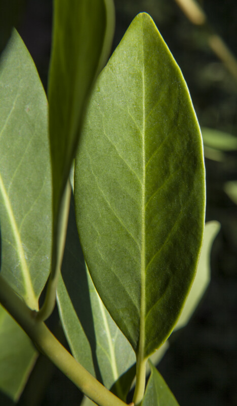 Yellow Anise Leaf