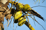 Yellow Coconuts