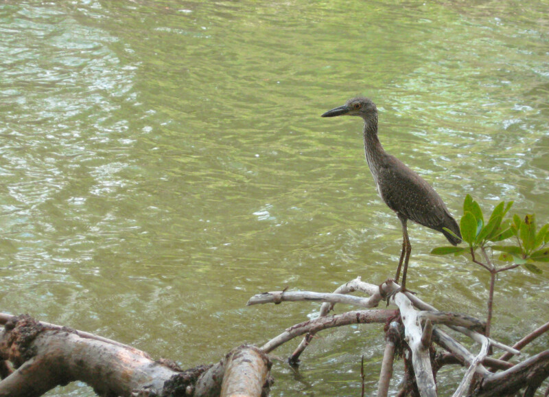 Yellow-Crowned Night Heron by Water