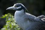 Yellow-Crowned Night Heron Close-up
