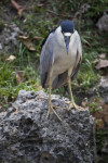 Yellow-Crowned Night Heron from Front