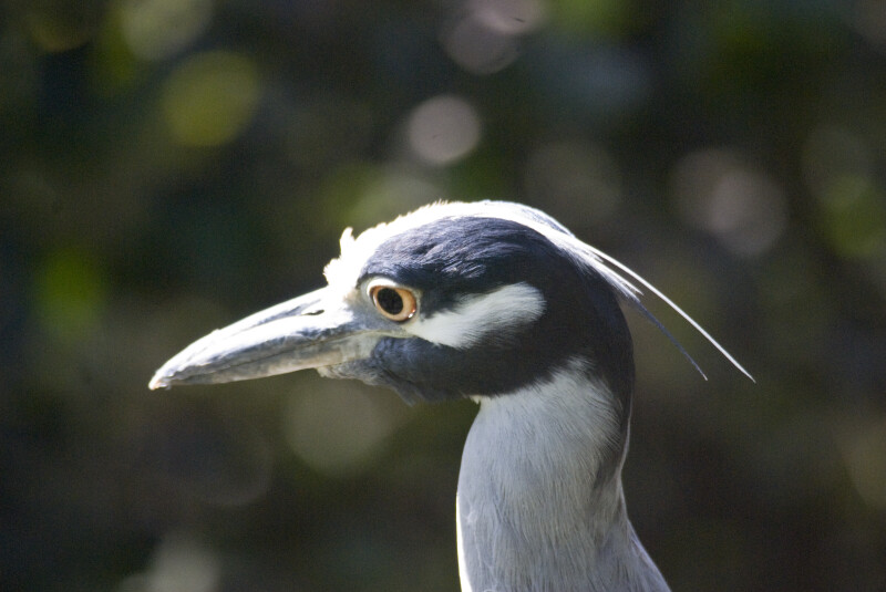 Yellow-Crowned Night Heron Head