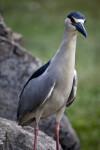 Yellow-Crowned Night Heron on Rocks