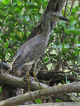 Yellow-Crowned Night Heron on Root