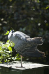 Yellow-Crowned Night Heron Preening