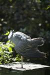 Yellow-Crowned Night Heron Preening