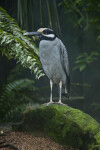 Yellow Crowned Night Heron Standing on Mossy Rock