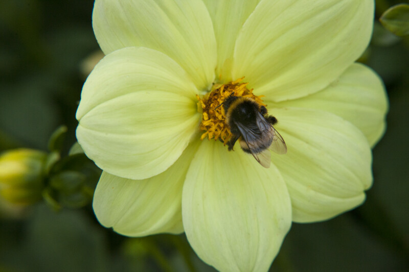 Yellow Dahlia and Bee