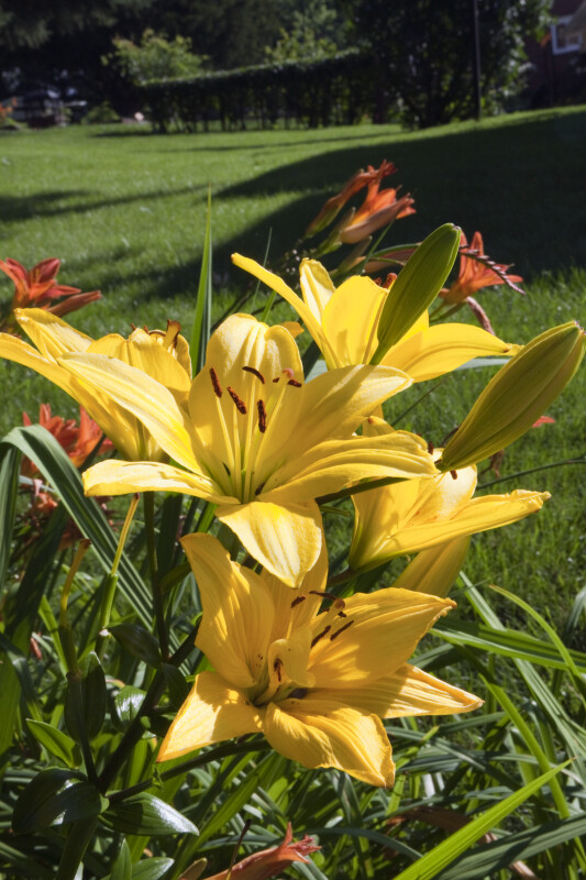 Yellow Daylily Flowers and Buds