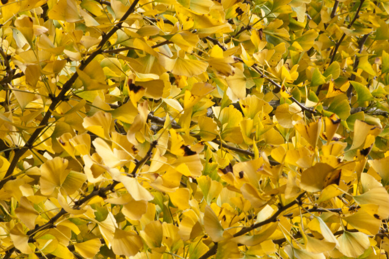 Yellow Fan-Shaped Ginkgo Leaves