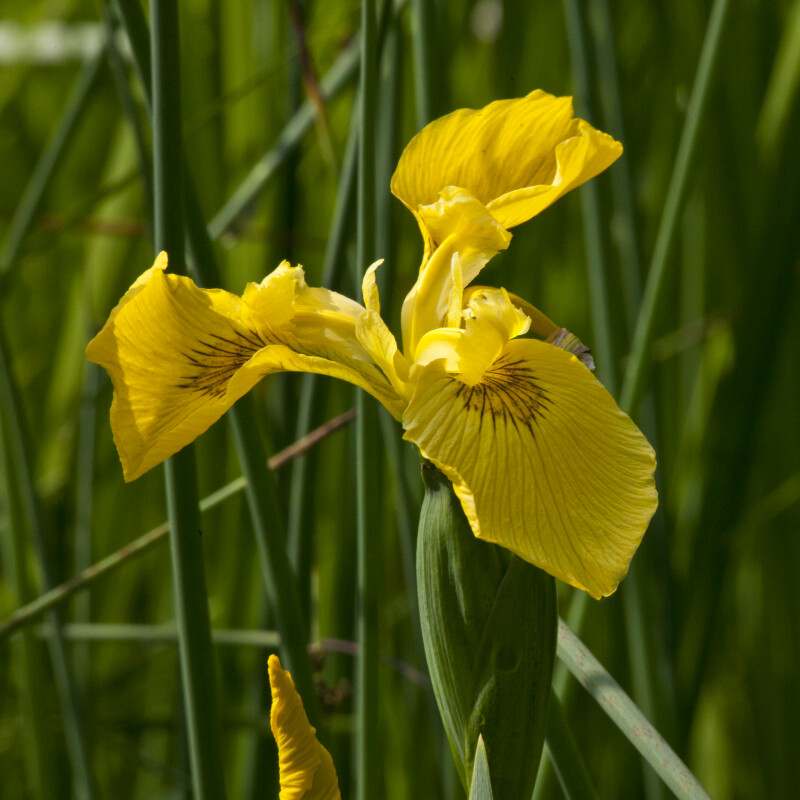 Yellow Flag Iris Flower