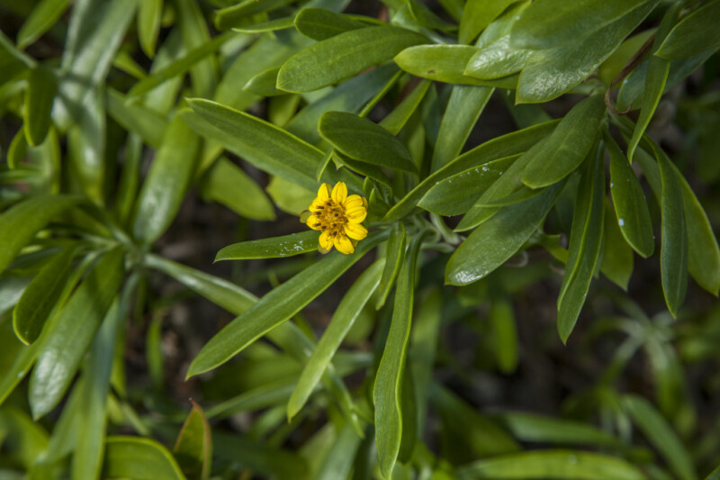 Yellow Flower and Green Leaves of a Sea Daisy