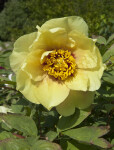 Yellow Flower from a Tree Peony