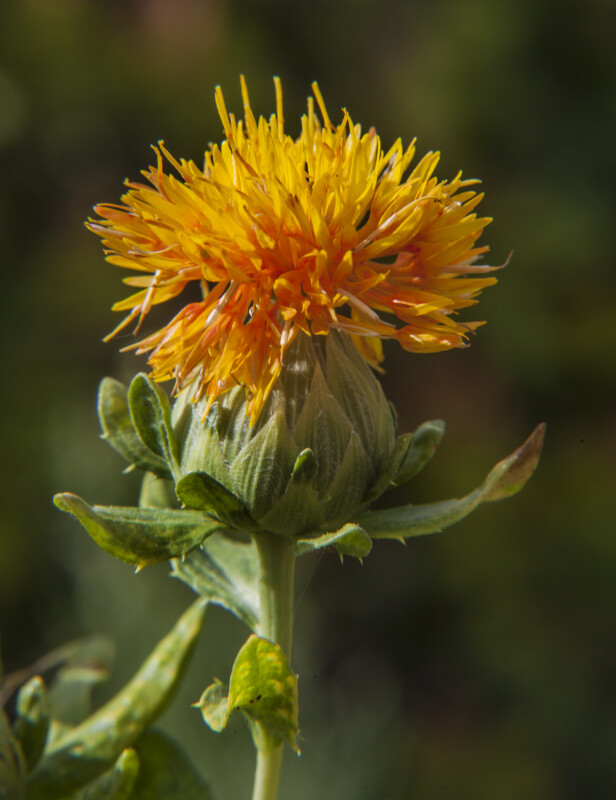 Yellow Flower of a Safflower Plant