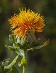 Yellow Flower of a Safflower Plant
