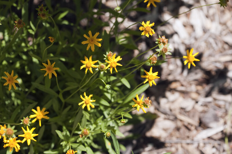 Yellow Flowers and Green Buds