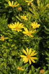 Yellow Flowers at the Rancho Los Alamitos Historic Ranch and Gardens