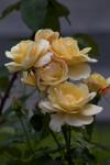 Yellow Flowers of a Shrub