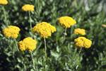 Yellow Flowers of a Stonecrop Sedum