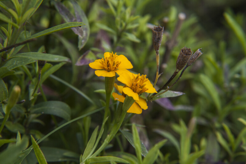 Yellow Flowers of a Tarragon Plant