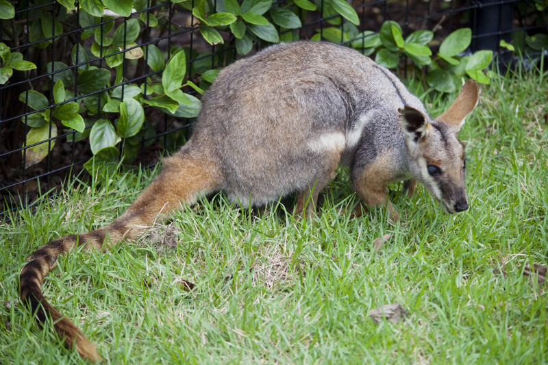Yellow-Footed Rock Wallaby in Grass