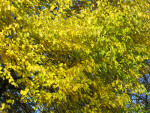 Yellow-Green Autumn Leaves