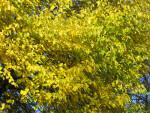 Yellow-Green Autumn Leaves