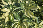 Variegated Schefflera Leaves