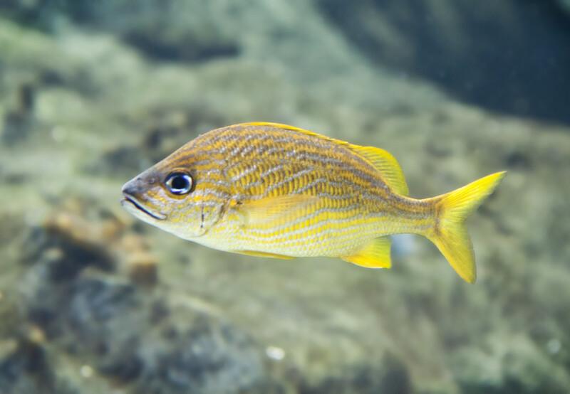 Yellow Grunt Fish at The Florida Aquarium