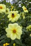 Yellow Hybrid Dahlia