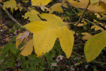 Yellow Leaf of a Chinese Tulip Tree