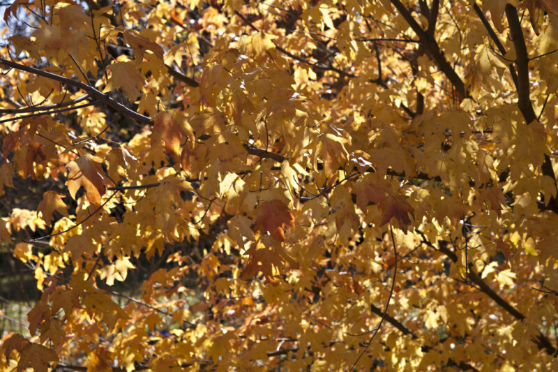 Yellow Leaves of a Maple Tree