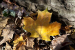 Yellow Maple Leaf at Evergreen Park