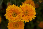 Yellow-Orange Flowers
