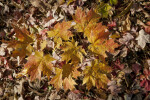 Yellow-Orange Maple Leaves at Evergreen Park