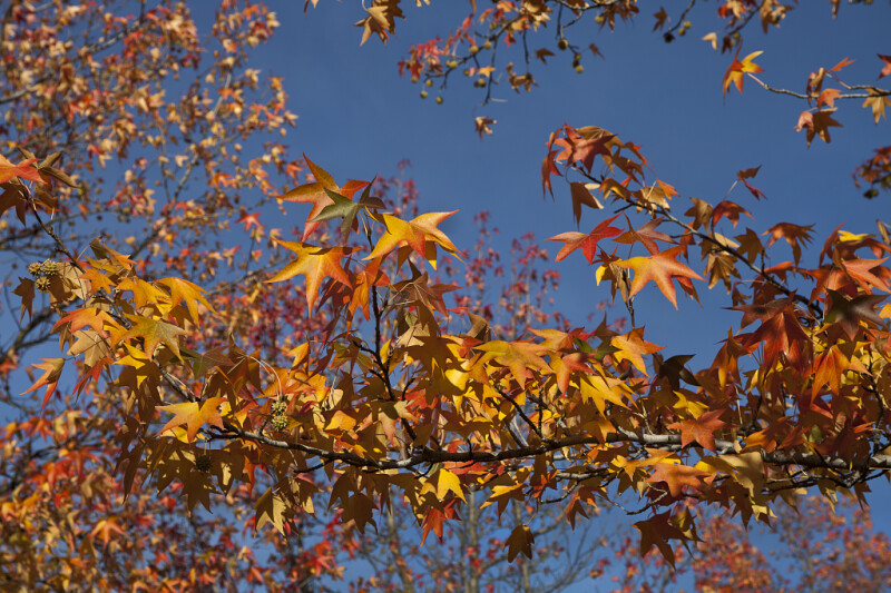 Yellow-Orange, Star-Like Leaves Extending from the Branches of an American Sweetgum Tree