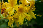 Yellow Pinkshell Azalea Flowers
