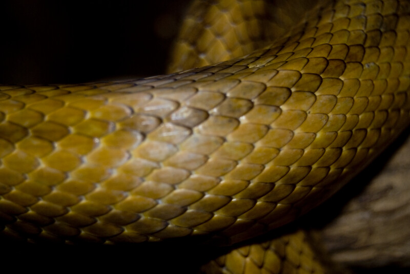 Yellow Rat Snake Detail