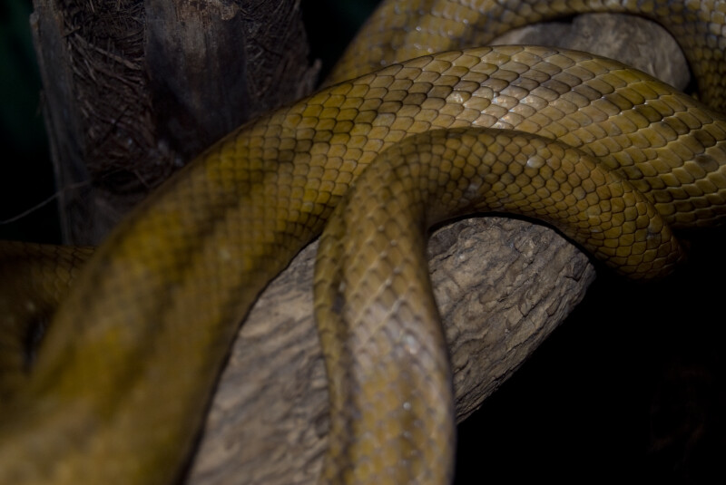 Yellow Rat Snake Scales