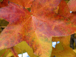 Yellow-Red Autumn Leaf