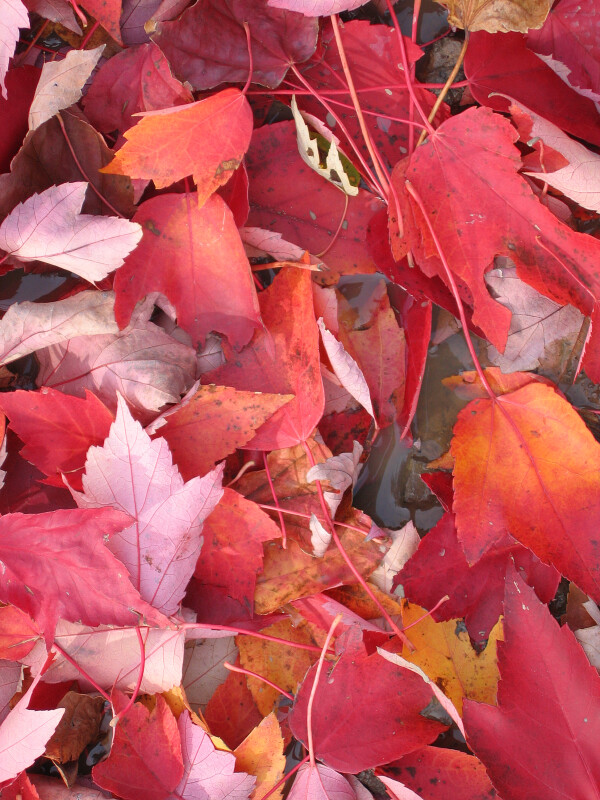 Yellow-Red Autumn Leaves