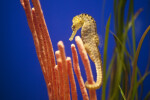 Yellow Seahorse with Black Spots near Long, Pink Plants