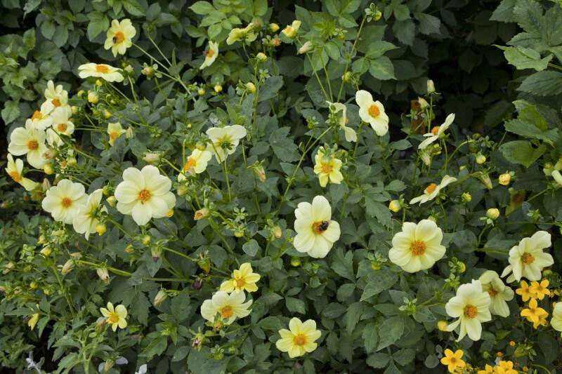 """Yellow Sneezy"" Dahlia"