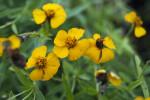 Yellow Tarragon Flowers
