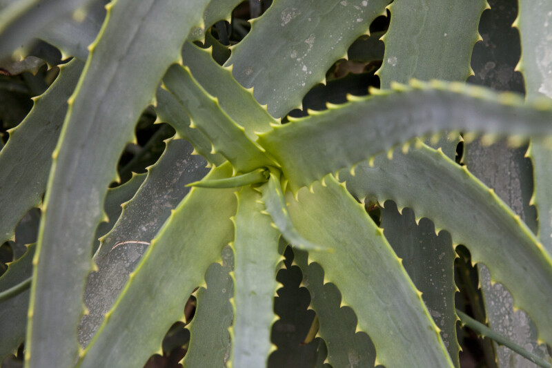 Yellow Thorned Aloe
