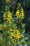 Yellow Thyrallis