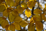 Yellow, Veiny Leaves of a Copper Beech