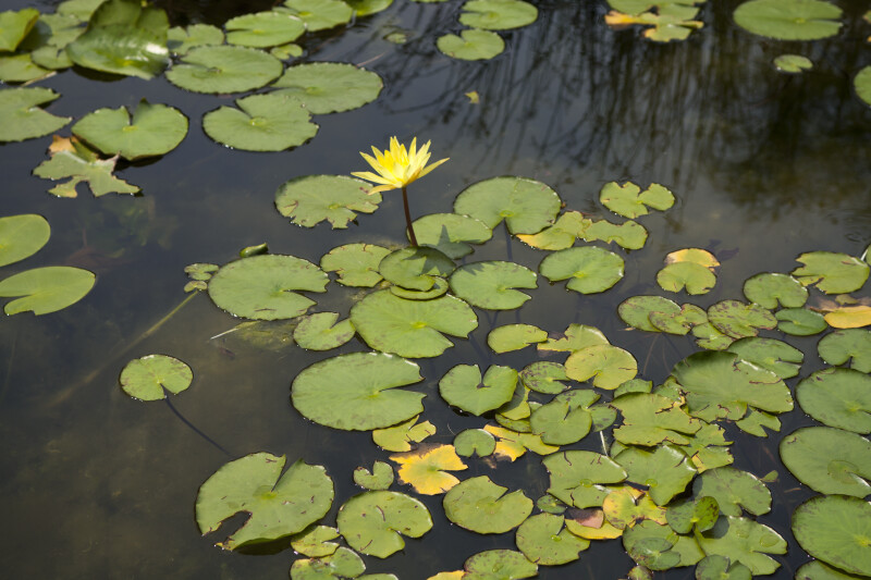 Yellow Water Lily Flower Amongst Pads